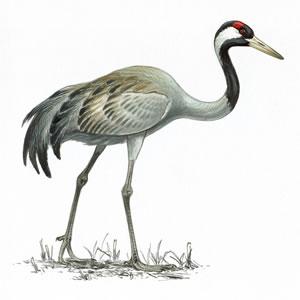 Crane (1)