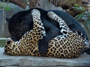 Pascaloe jaguars