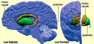 Cervau - noyau caude