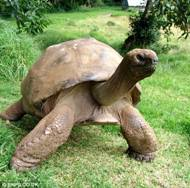 Cayman tortoise
