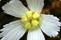 Michaux flower
